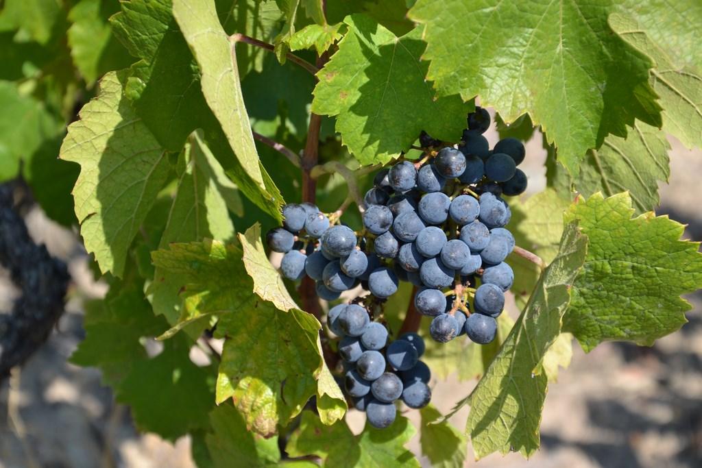 Les raisins gorgés de sucre ont donné des vins avec un équilibre parfait entre le sucre et l'acidité.