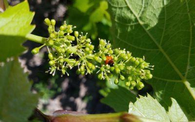 La floraison de la vigne
